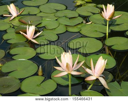 Beautiful water lilies in a pond with clear water