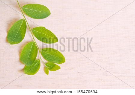 Moringa Natural Green Leaf Plant Spreads Over Wooden Board Background With Blank Copy Text Space