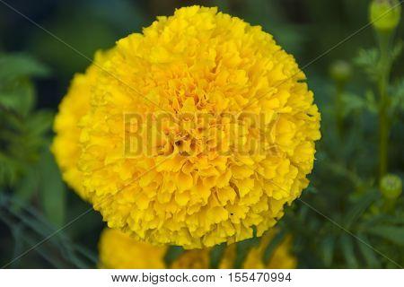 Marigold yellow illuminated closeup plant garden nature