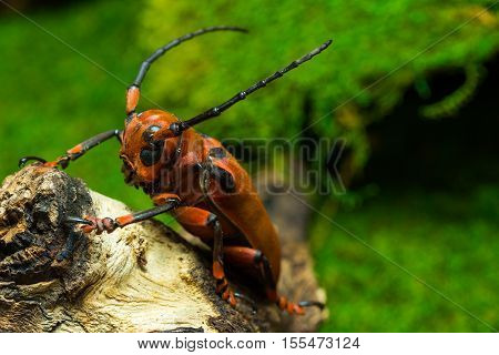 Longhorn beetle (Loesse sanguinolenta), Beetle on stump wood and green moss