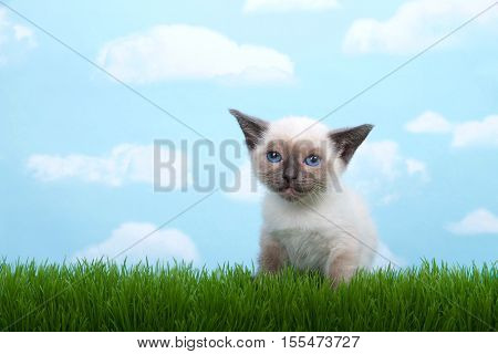 One tiny siamese kitten with munchkin traits sitting in grass looking at viewer dejected look on face. blue background sky with clouds. Copy space.