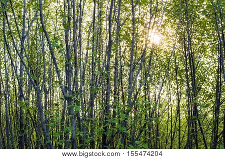 Thickets of young alder with leaves and sunlight