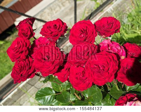 Scarlet roses on a bush in a garden