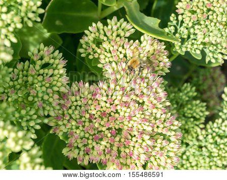Bumblebee polinates beautiful Sedum Autumn Joy flower