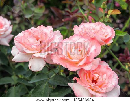 Close-up of beautiful pink rose in a garden