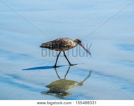Long-billed Curlew. Numenius americanus is a large North American shorebird of the family Scolopacidae