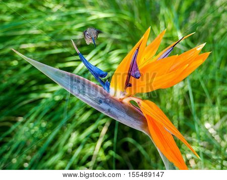 Hummingbird feeds on nectar from a colourful Bird of Paradise flower