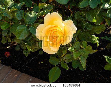 Beautiful yellow rose close up on bush