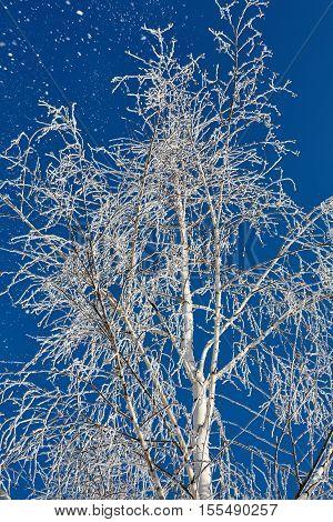 Tree in frost against blue sky. Winter scene