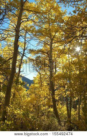 sun shining through the canopy of an aspen grove in the fall.