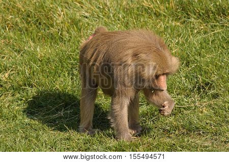 Male Baboon feeding