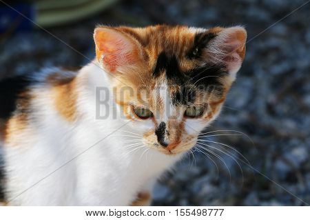 Portrait of small three-color homeless cat sitting outdoor. Attractive eyes long whiskers white-red-black fur.