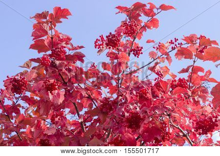 Shrub of viburnum with clusters of ripe berries and red leaves on the background of sky at autumn day