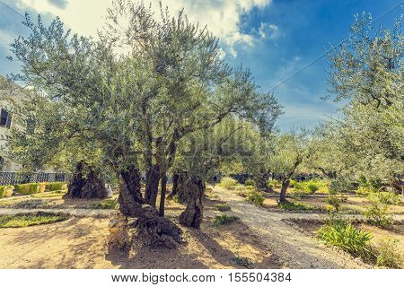 The Gethsemane Olive Orchard, Garden located at the foot of the Mount of Olives, Jerusalem, Israel.