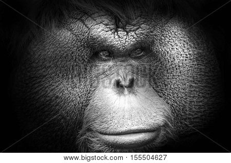 Black And White Portrait Of A Bornean Orangutan