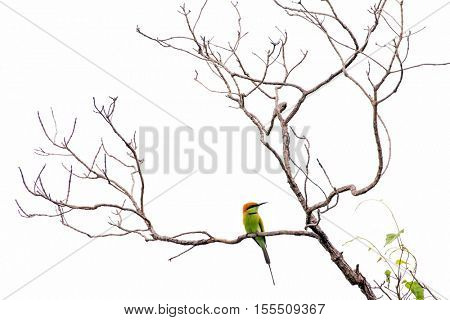 Bee eater bird on branch isolated on white background
