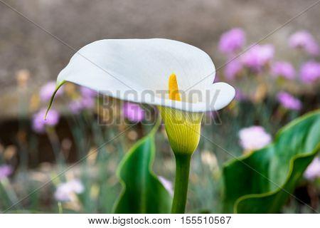 Beautiful White Calla Lily (Zantedeschia) green garden
