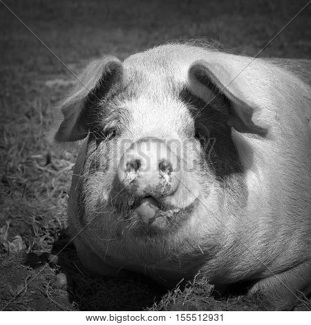 black and white portrait of lazy domestic pig