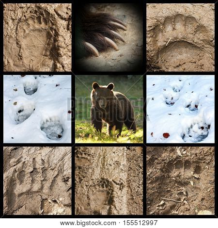 collection of wild brown bear tracks on mud and snow ( Ursus arctos )