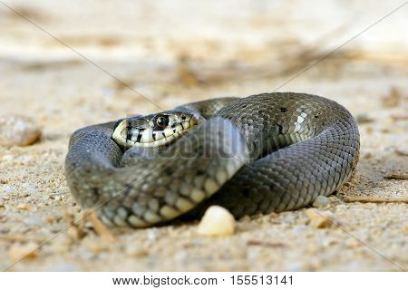 grass snake basking on the ground ( Natrix )