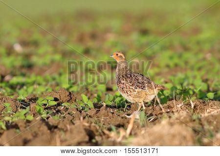 grey partridge on plowed land game bird ( Perdix )