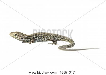 balkan wall lizard isolated over white background ( Podarcis tauricus )