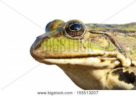 isolated portrait of common marsh frog white background ( Pelophylax ridibundus )
