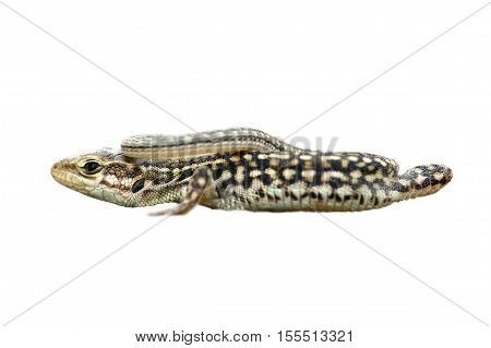 Podarcis tauricus isolated over white background ( balkan wall lizard )