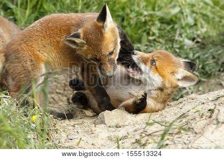 playful red fox cubs near the burrow ( Vulpes vulpes )