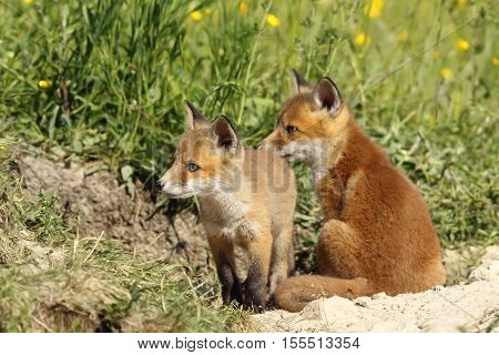 european red fox brothers near the den ( Vulpes wild animals )