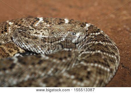 western diamondback rattlesnake showing camouflage pattern, in terrarium