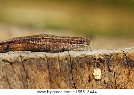 Zootoca vivipara basking on tree stump ( balkan wall lizard )