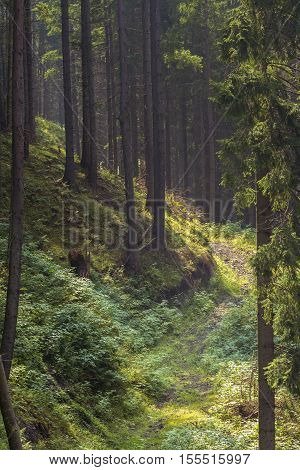 Fir tree forest. Inside of the romanian woods. Bucovina forest. Romania mountain forest. Beautiful forest in Romania.