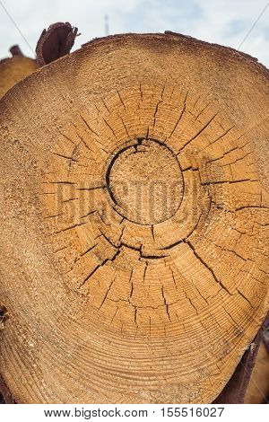 Trunk section with annual ring.Tree rings. Cross section of tree trunk.