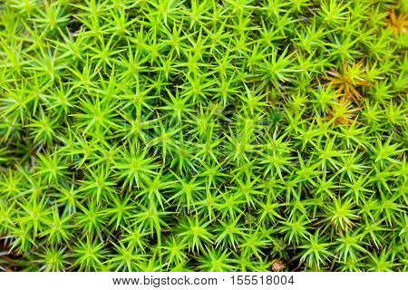 Common haircap moss star moss (Polytrichum commune)