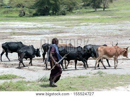 AFRICA, TANZANIA, MAY, 10, 2016 - Maasai Mara grazing herd of cows in Ngorongoro Crater Conservation Area, Tanzania. East Africa