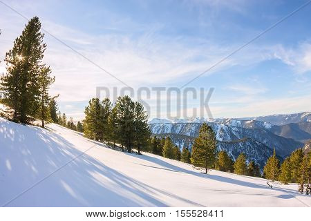 Softwoods Pine Trees On A Mountainside In The Snow In The Light Of The Setting Sun