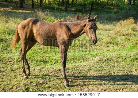 Lonely cute foal on a summer pasture.