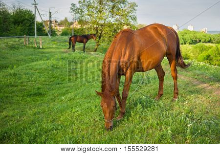 Horses grazing on a spring pasture at evening time.