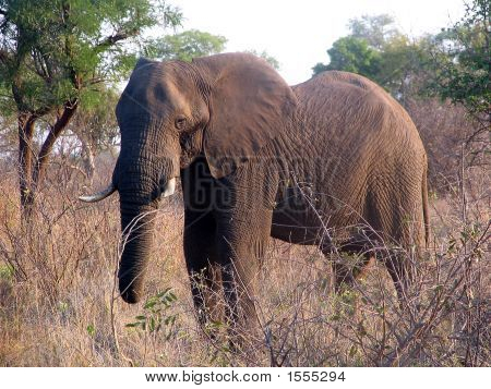 Big Male Elefant
