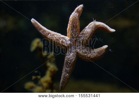 Common starfish (Asterias rubens), also known as the common sea star.