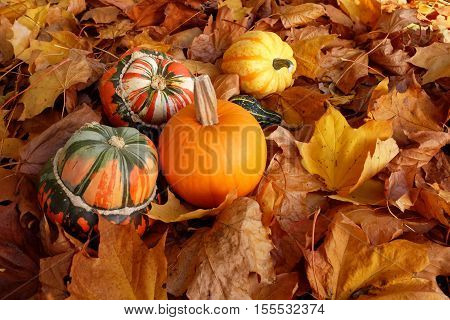 Turban Squashes, Pumpkin And Gourds On Crisp Autumn Leaves