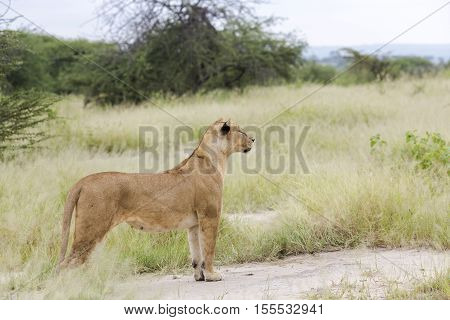 Lovely lioness gracefully standing and closely followed the savanna in a Tarangire, Tanzania