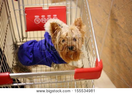 Yorkshire terrier dog in blue overalls is in cart of supermarket
