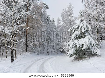 Day view to the snowy forest. Northern Europe, Latvia
