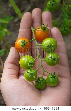 Greeny Cherry Tomatoes - A Bunch Unripe Cherry Tomatoes On Hand
