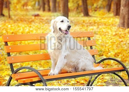 Funny labrador retriever sitting on bench in beautiful autumn park