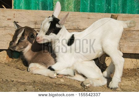 Portrait of two funny baby goats sitting on the ground
