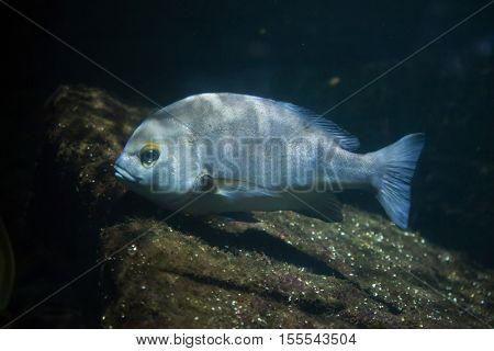 Rubberlip grunt (Plectorhinchus mediterraneus). Marine fish.