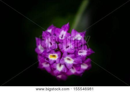 Beautigul purple primula flower in black background